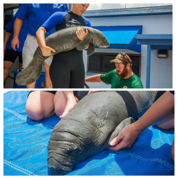 SeaWorld Manatee Rescue 7 23 2014