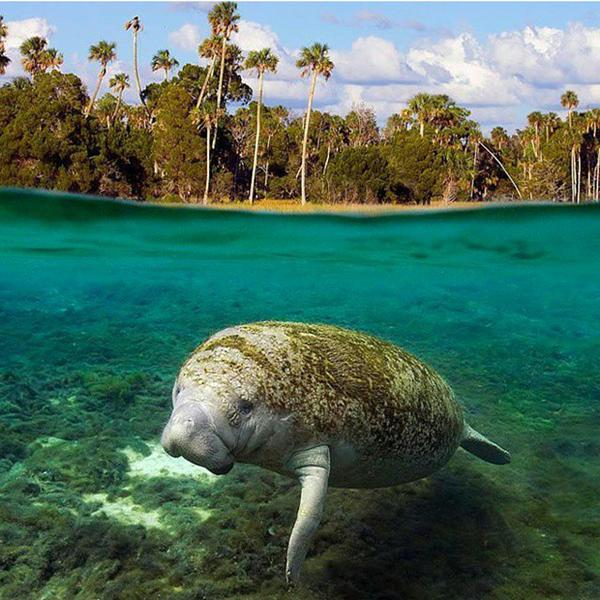 Manatee news open by Wayne Lynch