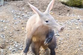 Aardvark Pic